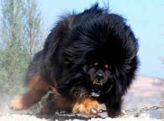 Caucasian Shepherd vs Tibetan Mastiff